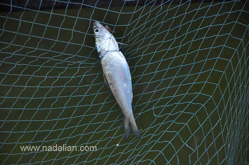 Fish , Hormoz Island